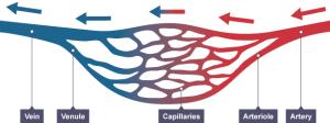 ArteriesVeinsCapillaries