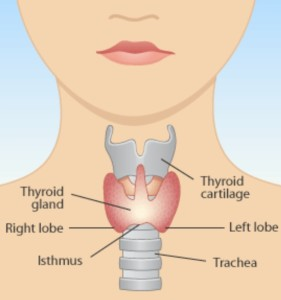 Thyroid Gland Anatomy
